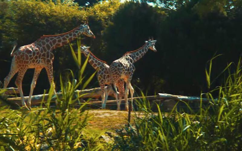 莱比锡动物园 | 长颈鹿